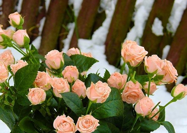 анализ стихотворения классические розы